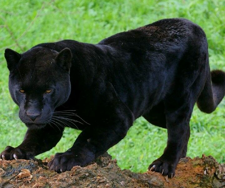3-5 Pouncing Panthers